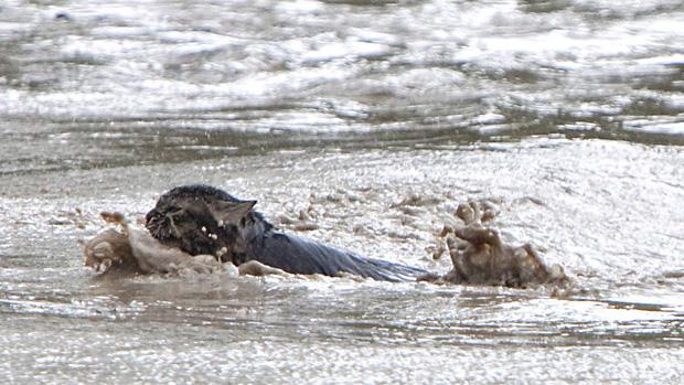 620x349xli-130621-alberta-flood-momo-cat-swim-0.jpg.pagespeed.ic.FmHqiCQGkO